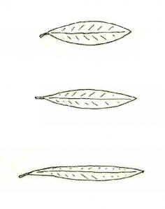 Longitud anchura hoja de olivo