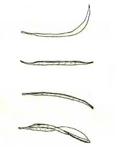 curvatura hoja de olivo