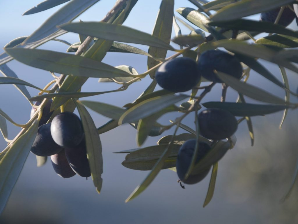 olivo picual