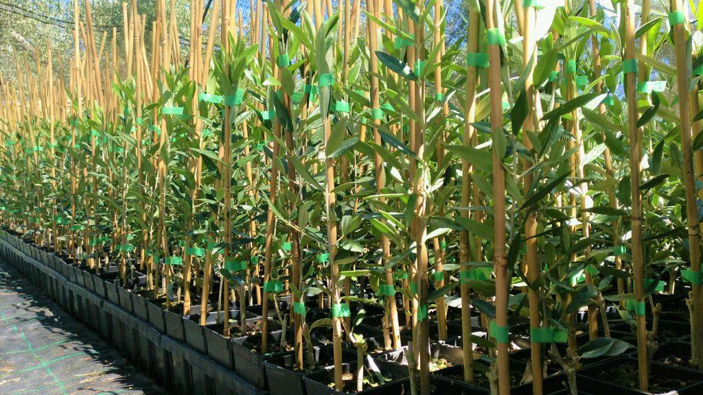 plantones de olivo picual