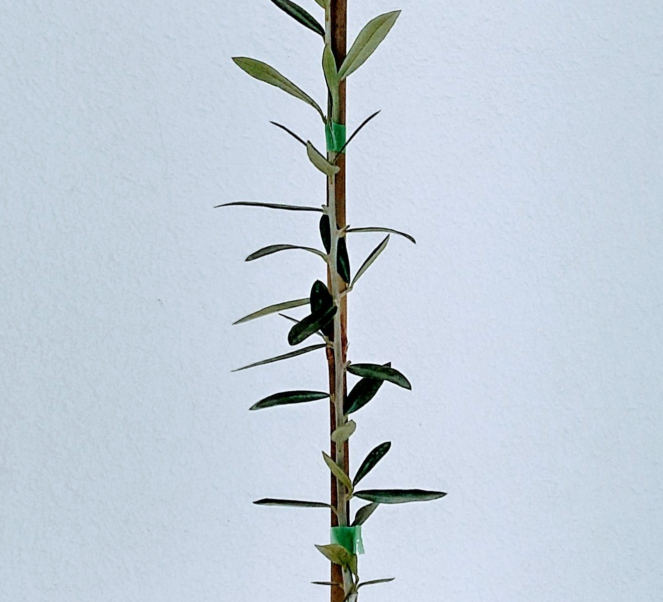 Planton de olivo en maceta