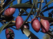 Olivo variedad picudo