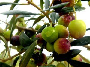 olivo arbequina