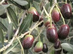 Olivo variedad empeltre