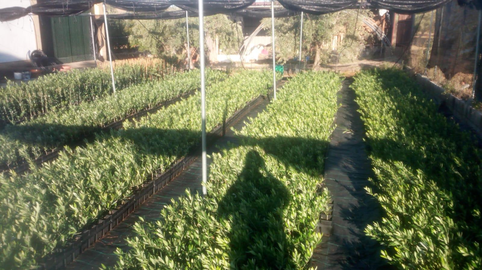 plantones de olivo precios