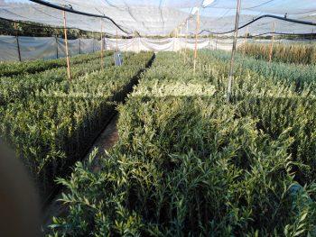 plantas arbequinas