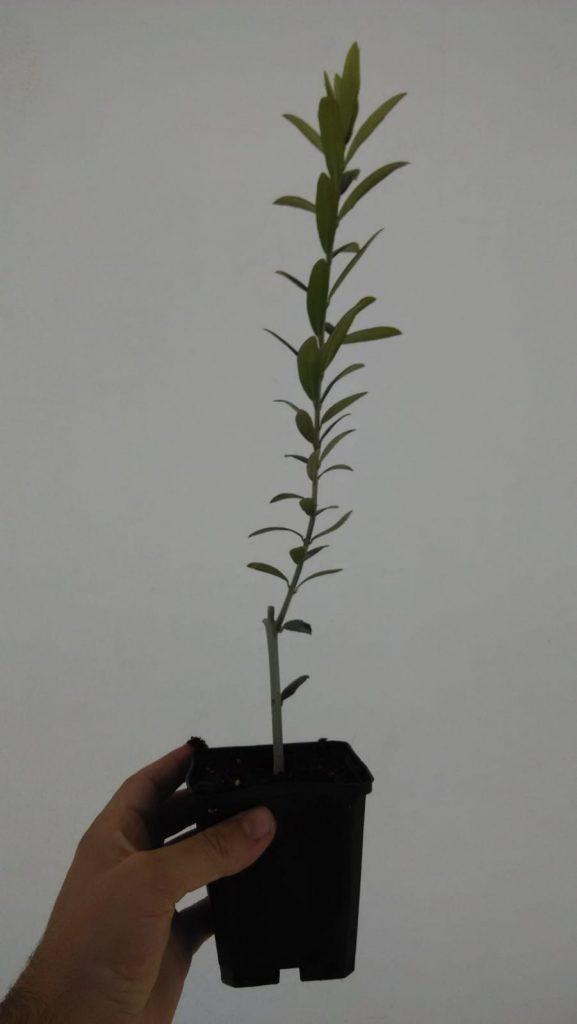 plantón de olivo arbequina