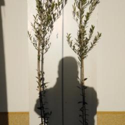 olivo arbequina 2 años