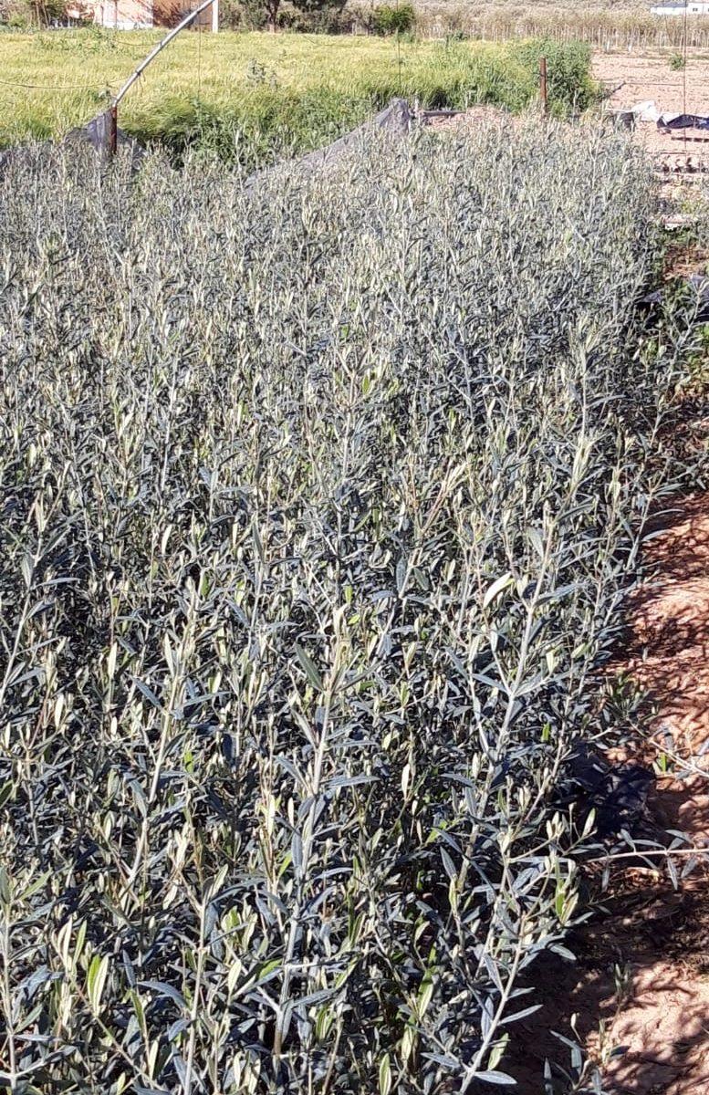 plantas de olivo hojiblanca