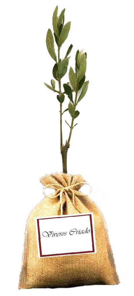 Miniolivo para regalo de bodas olivos para regalar