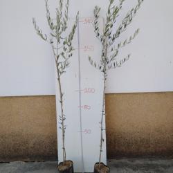 olivo frantoio resistente a verticillium