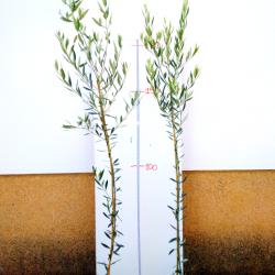 olivo picual 3 años