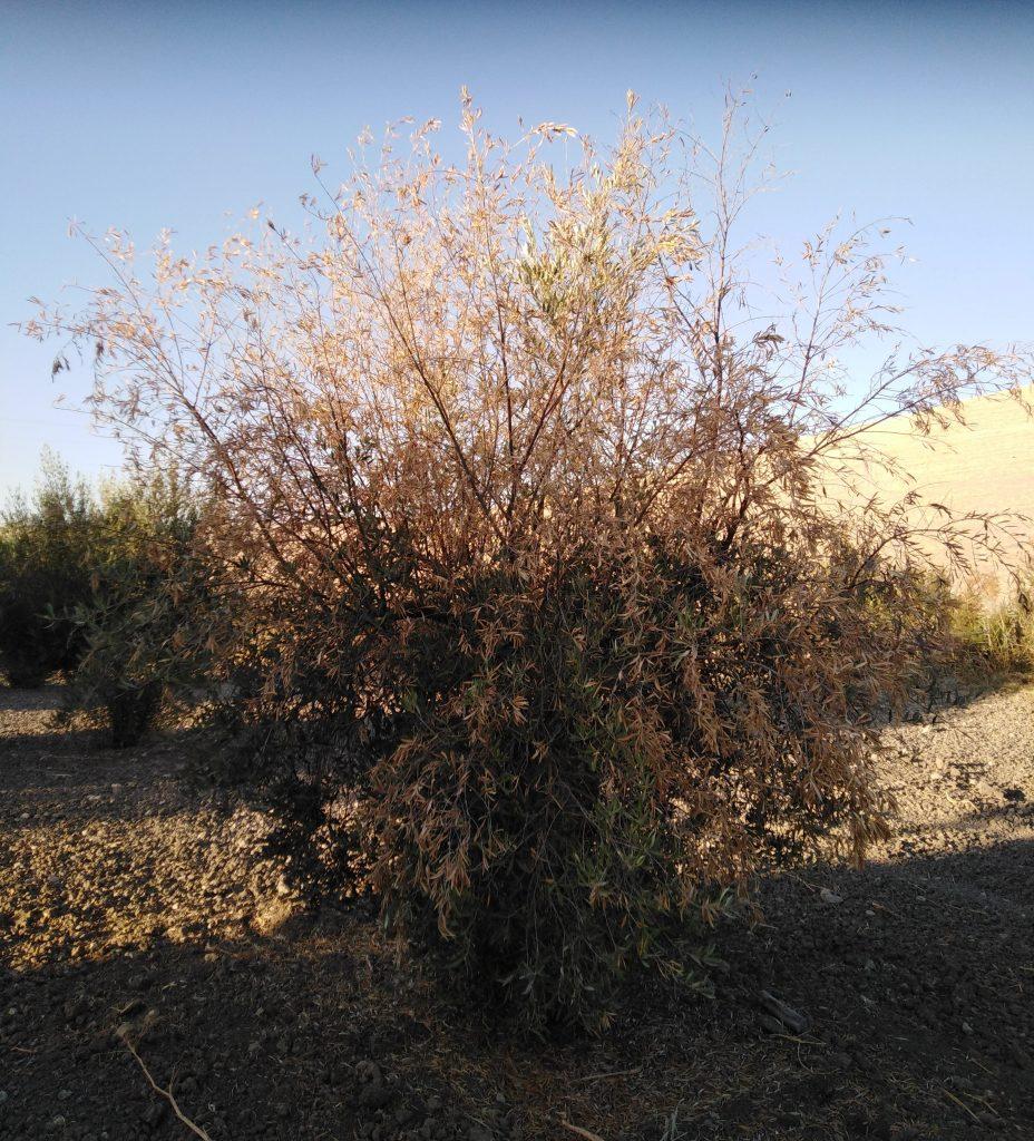 Verticilosis del olivo, verticillium