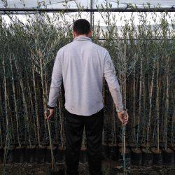 planta de olivo hojiblanco