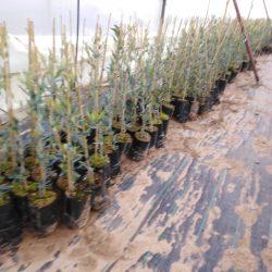 olivo nevadillo