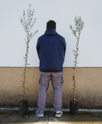 plantones de olivo changlot real