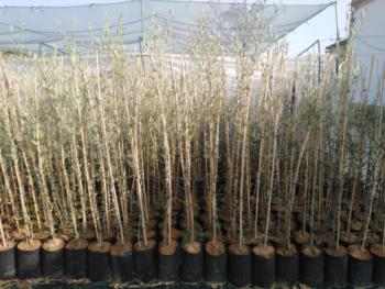 plantones de olivo cornicabra