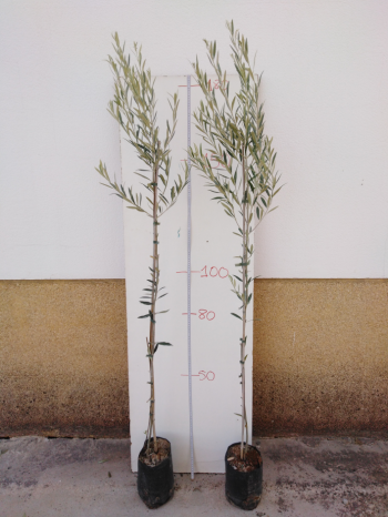 olivo cornicabra maceton