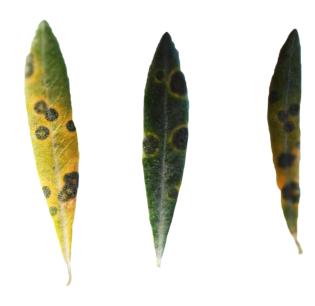el repilo en las hojas de olivo