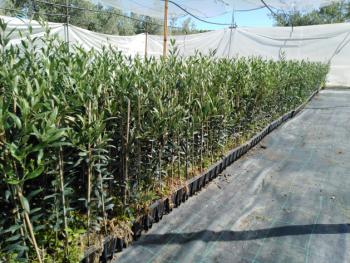 olivo arbequina 2021