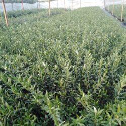 plantones de olivo arbequina