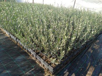 plantones de olivo frantoio