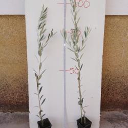 olivo hojiblanco en turba