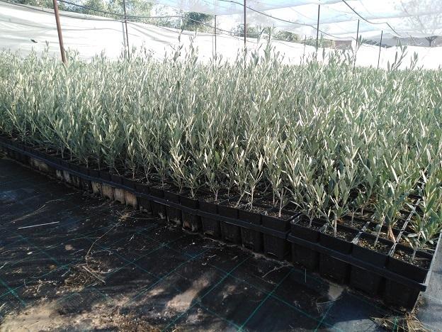 plantones de olivo hojiblanco
