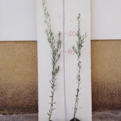 olivo picual en maceta turba