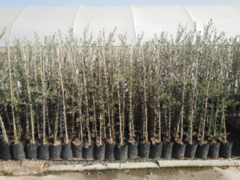 Plantones de olivo Picudo