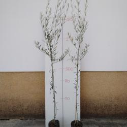 olivo hojiblanco en maceta