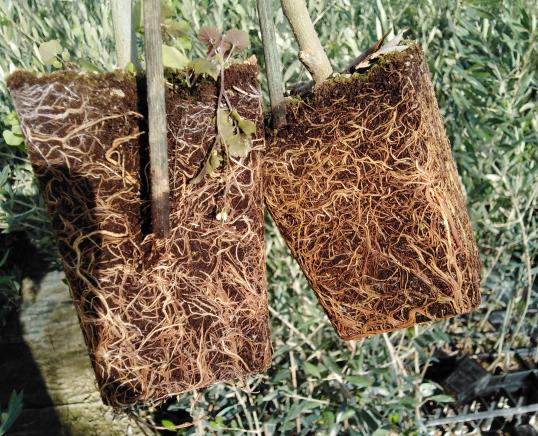 olivos micorrizados