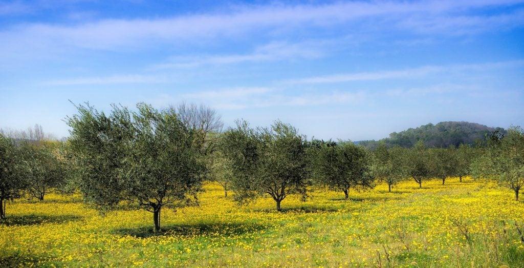 agricultura regenerativa en el olivar, olivar regenerativo