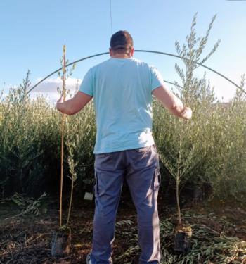 olivo de palo o de campo
