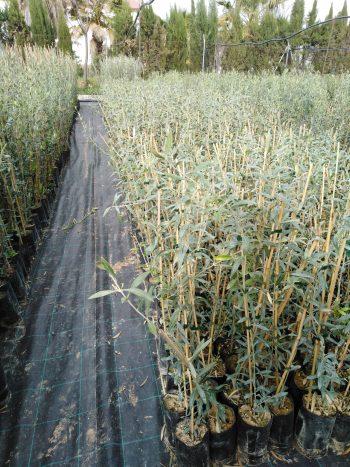 olivos hojiblancos 1 año