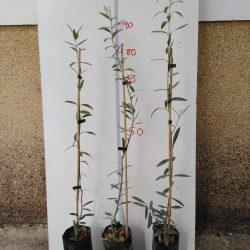 olivo hojiblanco 1 año