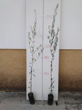olivo hojiblanco