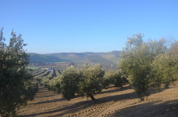 Suelo ideal para olivos